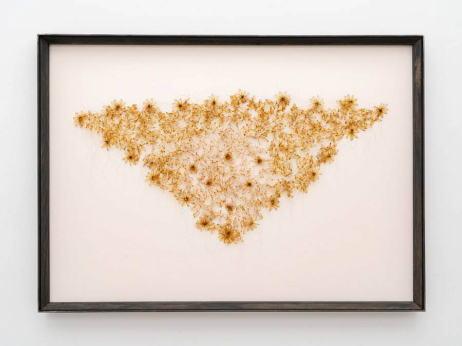 Sculpture of cicada wings, which are formed into small flowers which work together to form a large isosceles triangle. The wings are golden against a white canvas background, which is framed with a black frame.
